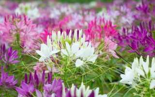 Клеома: фото, выращивание из семян, посадка и уход в открытом грунте