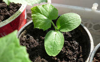 Как сажать тыкву в открытый грунт рассадой