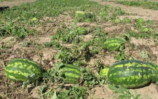 Арбузы в Подмосковье: выращивание, посадка и уход