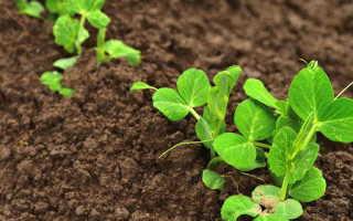 Как прорастить горох для посадки его в открытый грунт