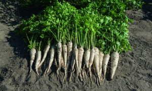 Корневая петрушка: выращивание, посадка и уход