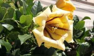 Соландра – Solandra: уход в домашних условиях, фото растения, размножение, болезни