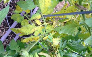 Почему желтеют листья у помидор