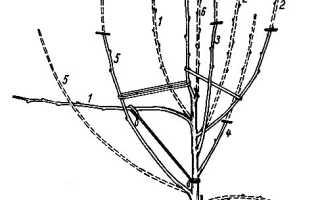 Как сформировать крону яблони?