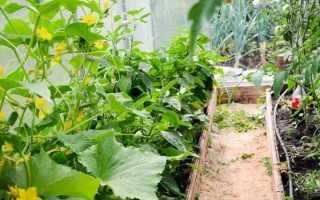 Можно ли в теплице сажать и огурцы и помидоры: особенности, совместимость