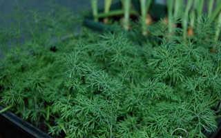 Выращивание укропа на подоконнике из семян