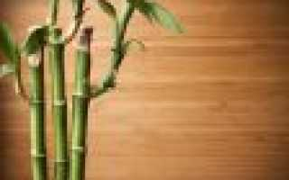 Как размножить бамбук из отростка в домашних условиях