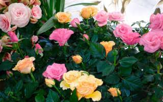 Домашняя роза: уход в домашних условиях, фото
