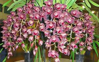 "Орхидея ""Цимбидиум"": уход в домашних условиях, пересадка, выбор грунта + фото"
