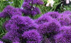 Трахелиум: что это за цветок, фото, сорта, выращивание