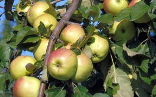 """Яблоня """"Братчуд"""": описание сорта, фото, отзывы"""