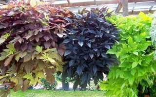 Ипомея батат: посадка, уход и выращивание цветка в комнатных условиях