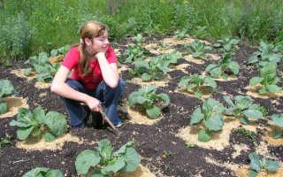 Чем подкормить капусту после высадки в грунт: народные средства и химия