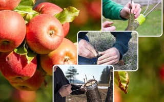 Как прививать плодовые деревья – лучшие способы