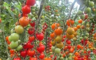 """Томат черри """"Вишня красная"""": посадка и уход, выращивание, достоинства и недостатки"""