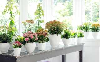 Декоративные цветущие комнатные растения с фото и описанием