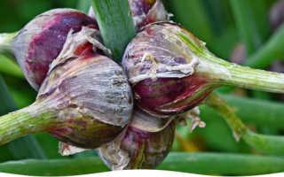 Многоярусный лук: фото, выращивание, посадка и уход