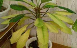 Почему у молочая желтеют и опадают листья: что делать