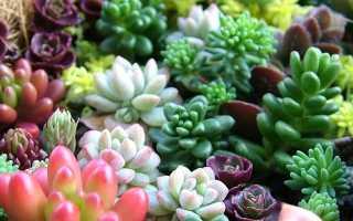 Как сажать и выращивать суккуленты