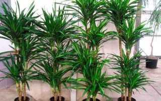 Удобрение для драцены: чем подкормить цветок в домашних условиях
