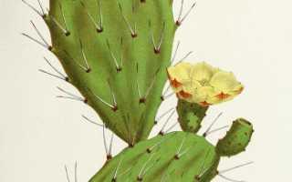 Кактус Опунция: фото и названия разных видов