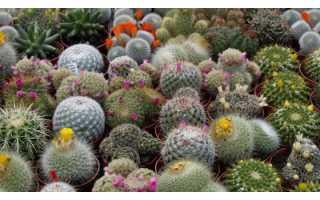 Виды кактусов с фото и названиями на русском