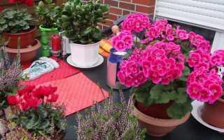 Пеларгония Плющелистная: уход, размножение, выращивание из семян в домашних условиях + фото