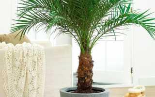 Пальма комнатная: виды и разновидности, уход и выращивание в квартире