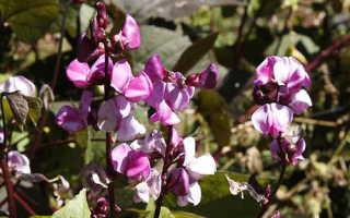 Долихос: выращивание из семян, посадка и уход, фото
