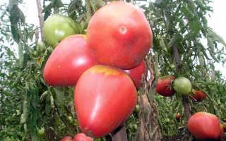 """Томат """"Розовый мед"""": характеристика и описание сорта, урожайность, отзывы + фото"""