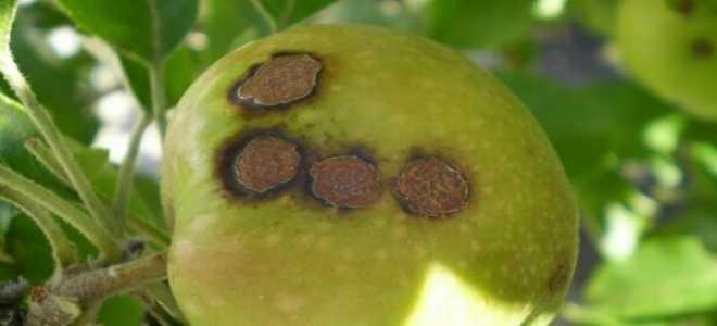 Парша на яблоне: фото, описание и лечение