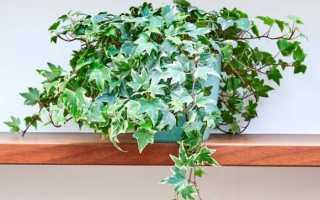 Плющ комнатный: выращивание плюща в домашних условиях, фото