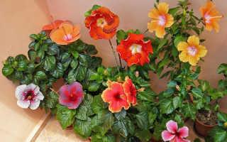 """Цветок """"Гибискус"""": уход в домашних условиях"""