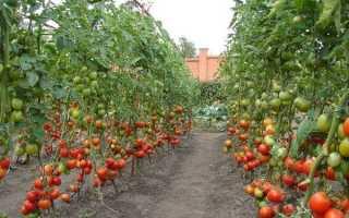 Лучшие сорта высокорослых помидоров для открытого грунта