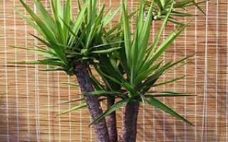 """Пальма """"Юкка"""": уход и выращивание в домашних условиях"""