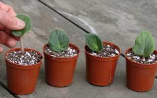 Как размножить фиалку листом в домашних условиях – пошаговая инструкция
