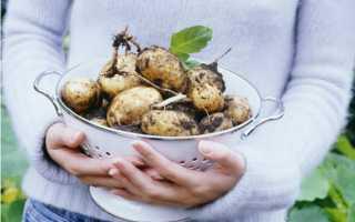 """Картофель """"Бела роса"""": описание сорта, фото, отзывы"""