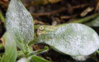 Болезни петунии: фото и их лечение