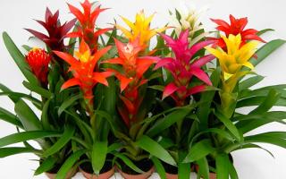 Бромелия: уход в домашних условиях, цветение, фото