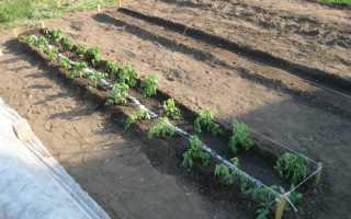 Посадка и уход за томатами в открытом грунте