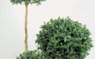 Лавровый лист: посадка, размножение, уход и выращивание в домашних условиях