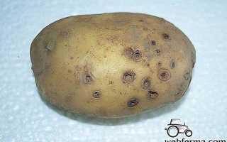 Обработка картофеля и способы защиты от проволочника