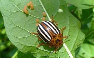 Средства и препараты от колорадского жука с отзывами