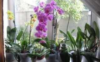 Дендробиум Фаленопсис: фото, описание, посадка и уход
