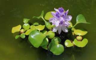 Водный гиацинт Эйхорния – посадка и уход в пруду, фото, видео