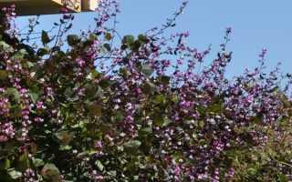 Гиацинтовые бобы: выращивание из семян, посадка и уход + фото