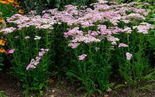 Тысячелистник садовый многолетний: посадка и уход, фото