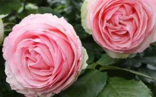 Роза морщинистая: посадка и уход, фото