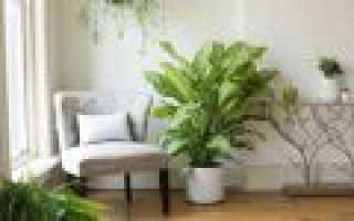 "Цветок ""Диффенбахия"": описание, фото, уход в домашних условиях"