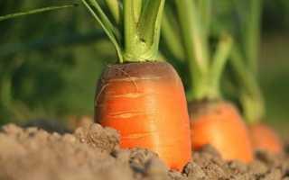 Как и когда сажать морковь семенами в открытый грунт